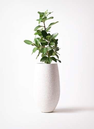 観葉植物 フィカス ベンガレンシス 7号 ストレート フォンティーヌトール 白 付き