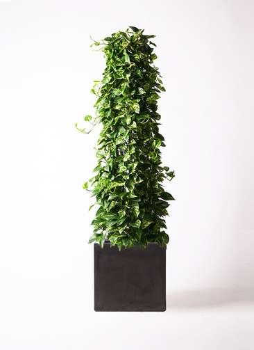 観葉植物 ポトス 10号 ファイバークレイ 付き