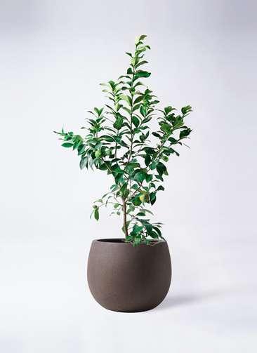 レモンの木 8号 リスボン テラニアス ローバルーン アンティークブラウン 付き