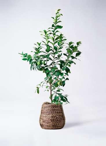レモンの木 8号 リスボン リゲル 茶 付き
