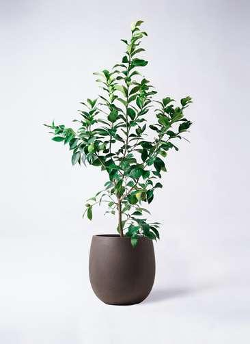 レモンの木 8号 リスボン テラニアス バルーン アンティークブラウン 付き
