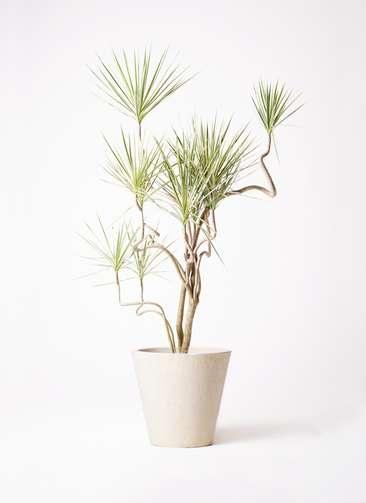 観葉植物 コンシンネ ホワイポリー 10号 曲り フォリオソリッド クリーム 付き
