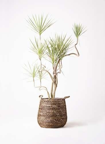 観葉植物 コンシンネ ホワイポリー 10号 曲り リゲル 茶 付き