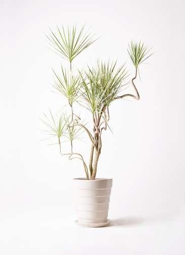 観葉植物 コンシンネ ホワイポリー 10号 曲り サバトリア 白 付き