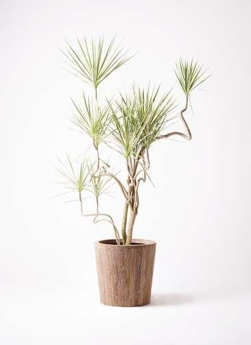 観葉植物 コンシンネ ホワイポリー 10号 曲り ウッドプランター 付き