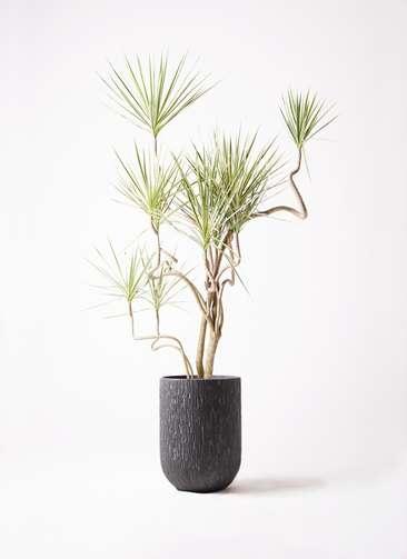 観葉植物 コンシンネ ホワイポリー 10号 曲り カルディナトールダークグレイ 付き