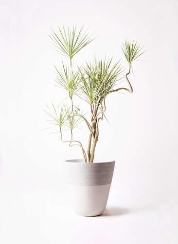 観葉植物 コンシンネ ホワイポリー 10号 曲り ジュピター 白 付き