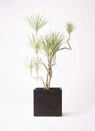 観葉植物 コンシンネ ホワイポリー 10号 曲り ファイバークレイ キューブ 付き