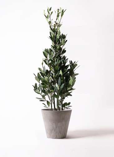 観葉植物 月桂樹 8号 アートストーン ラウンド グレー 付き