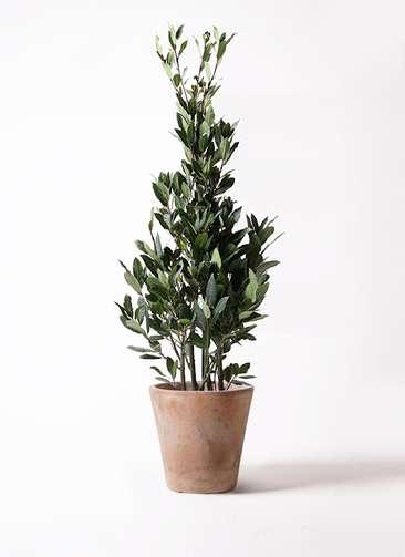観葉植物 月桂樹 8号 ルーガ アンティコ ソリッド 付き