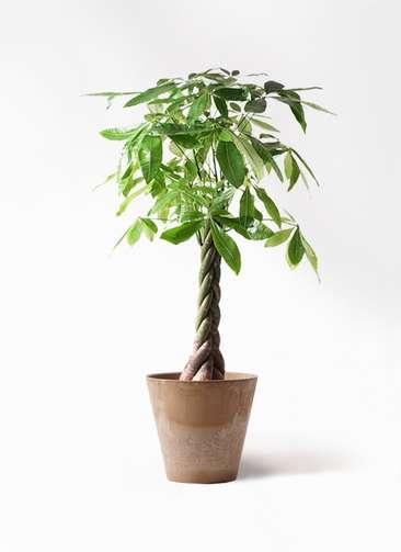 観葉植物 パキラ 8号 ねじり アートストーン ラウンド ベージュ 付き