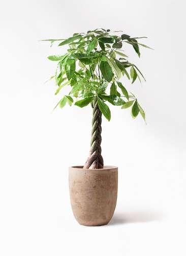 観葉植物 パキラ 8号 ねじり ルーガ アンティコ アルトエッグ 付き