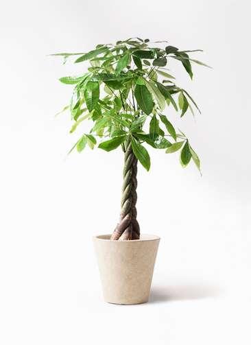 観葉植物 パキラ 8号 ねじり フォリオソリッド クリーム 付き