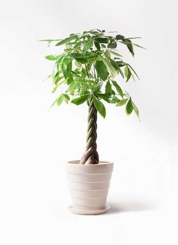 観葉植物 パキラ 8号 ねじり サバトリア 白 付き