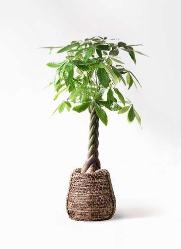 観葉植物 パキラ 8号 ねじり リゲル 茶 付き