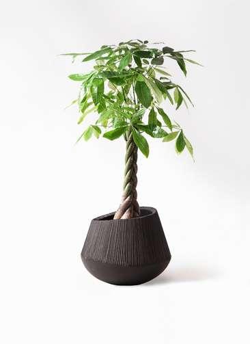 観葉植物 パキラ 8号 ねじり エディラウンド 黒 付き