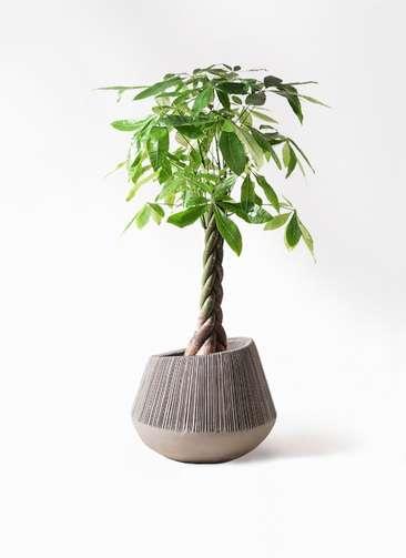 観葉植物 パキラ 8号 ねじり エディラウンド グレイ 付き
