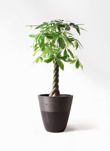 観葉植物 パキラ 8号 ねじり ジュピター 黒 付き