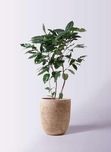 観葉植物 コーヒーの木 8号 ルーガ アンティコ アルトエッグ 付き