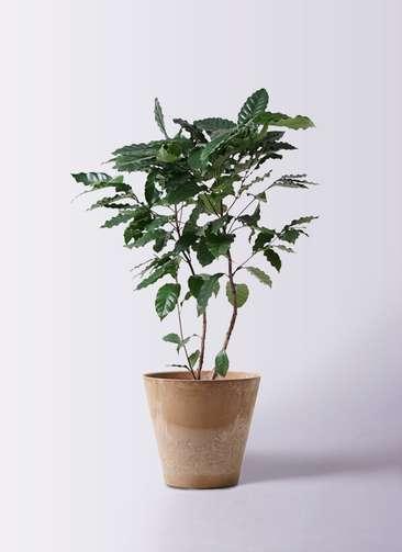 観葉植物 コーヒーの木 8号 アートストーン ラウンド ベージュ 付き