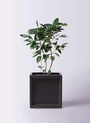観葉植物 コーヒーの木 8号 ブリティッシュキューブ 付き