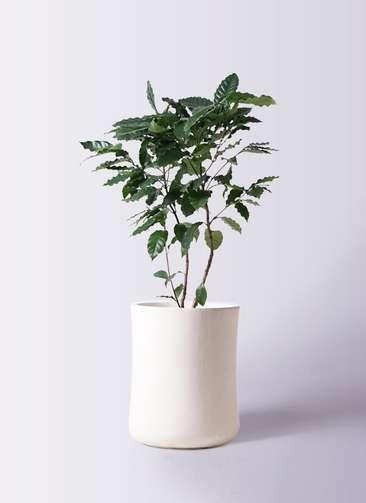 観葉植物 コーヒーの木 8号 バスク ミドル ホワイト 付き