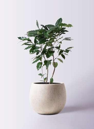 観葉植物 コーヒーの木 8号 テラニアス ローバルーン アンティークホワイト 付き