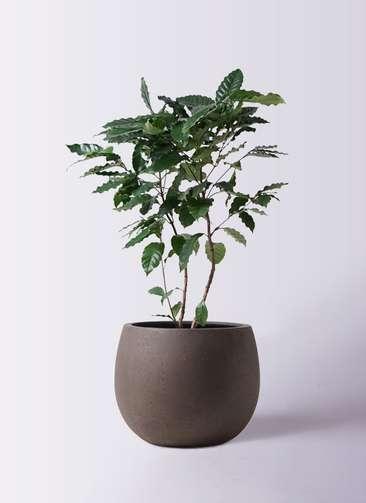 観葉植物 コーヒーの木 8号 テラニアス ローバルーン アンティークブラウン 付き