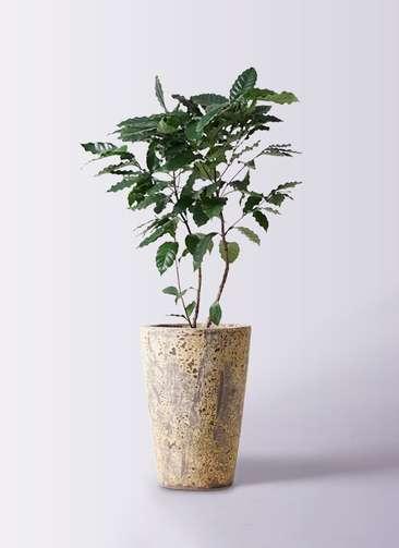 観葉植物 コーヒーの木 8号 アトランティス クルーシブル 付き