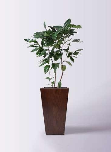 観葉植物 コーヒーの木 8号 MOKU スクエア 付き