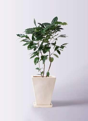 観葉植物 コーヒーの木 8号 スクエアハット 白 付き