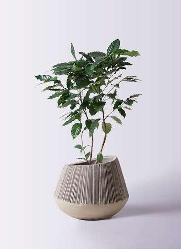 観葉植物 コーヒーの木 8号 エディラウンド グレイ 付き