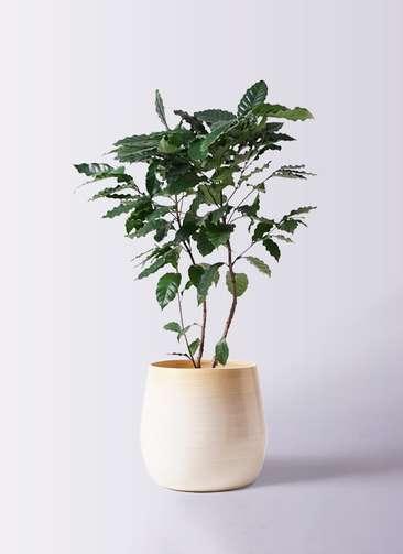 観葉植物 コーヒーの木 8号 ササール 白 付き