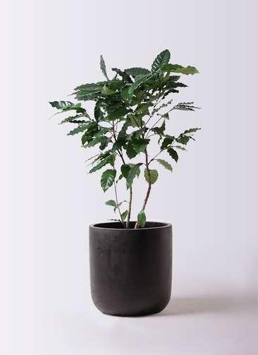 観葉植物 コーヒーの木 8号 エルバ 黒 付き