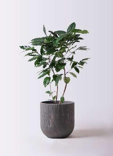 観葉植物 コーヒーの木 8号 カルディナダークグレイ 付き