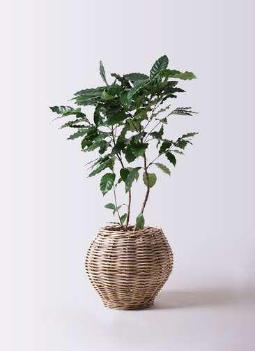 観葉植物 コーヒーの木 8号 グレイラタン 付き