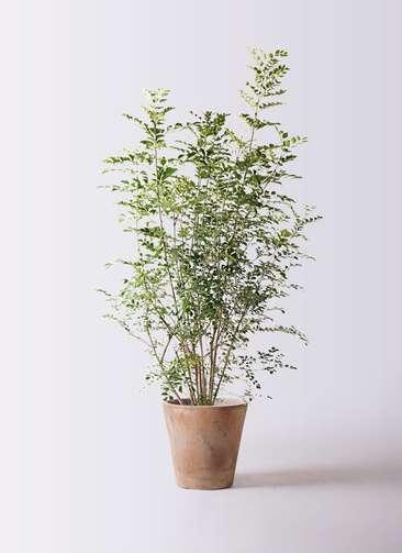 観葉植物 シマトネリコ 8号 ルーガ アンティコ ソリッド 付き