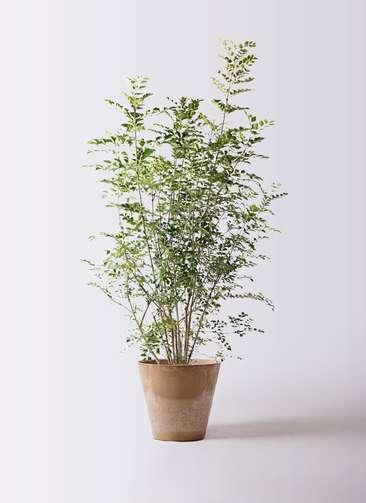 観葉植物 シマトネリコ 8号 アートストーン ラウンド ベージュ 付き
