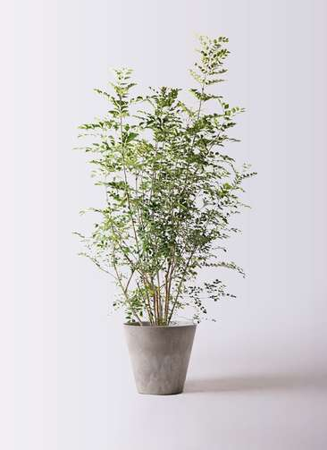 観葉植物 シマトネリコ 8号 アートストーン ラウンド グレー 付き