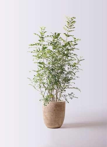 観葉植物 シマトネリコ 8号 ルーガ アンティコ アルトエッグ 付き