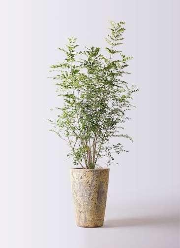 観葉植物 シマトネリコ 8号 アトランティス クルーシブル 付き