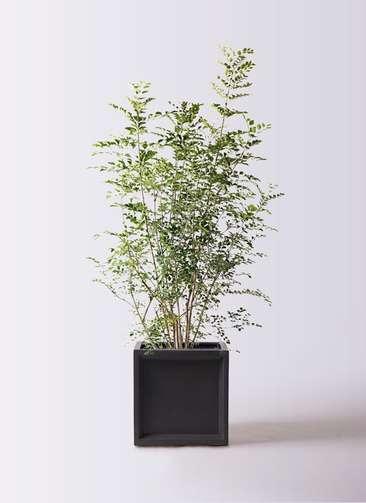 観葉植物 シマトネリコ 8号 ブリティッシュキューブ 付き