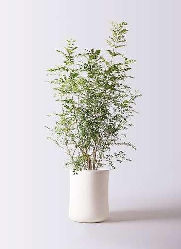観葉植物 シマトネリコ 8号 バスク ミドル ホワイト 付き