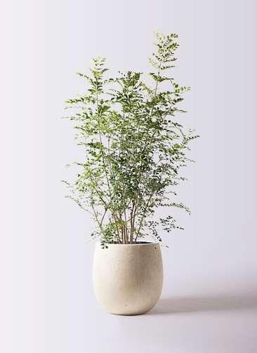 観葉植物 シマトネリコ 8号 テラニアス バルーン アンティークホワイト 付き