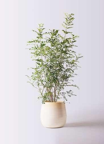 観葉植物 シマトネリコ 8号 ササール 白 付き