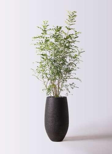 観葉植物 シマトネリコ 8号 フォンティーヌトール 黒 付き