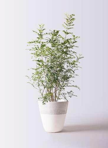 観葉植物 シマトネリコ 8号 ジュピター 白 付き
