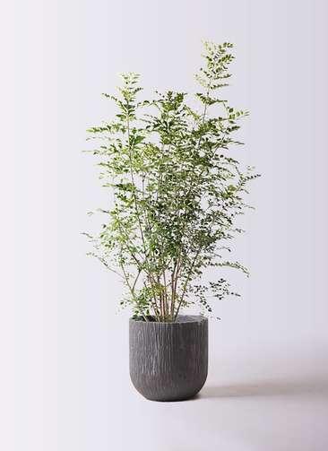 観葉植物 シマトネリコ 8号 カルディナダークグレイ 付き