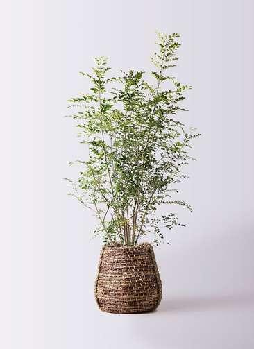 観葉植物 シマトネリコ 8号 リゲル 茶 付き