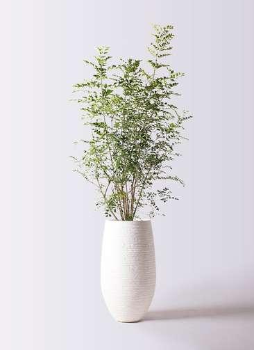 観葉植物 シマトネリコ 8号 フォンティーヌトール 白 付き